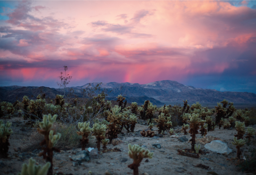 Cholla Sunset, Cholla Cactus Garden (Joshua Tree National Park), digital photograph